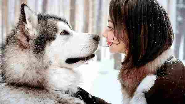 Cách nuôi chó Alaska