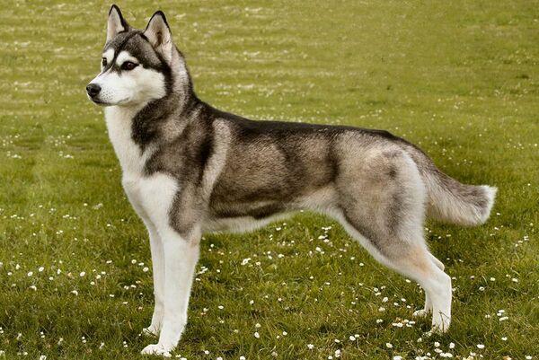 Ngoại hình của chó Husky