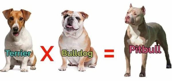 Chó Pitbull nhân giống từ Terrier
