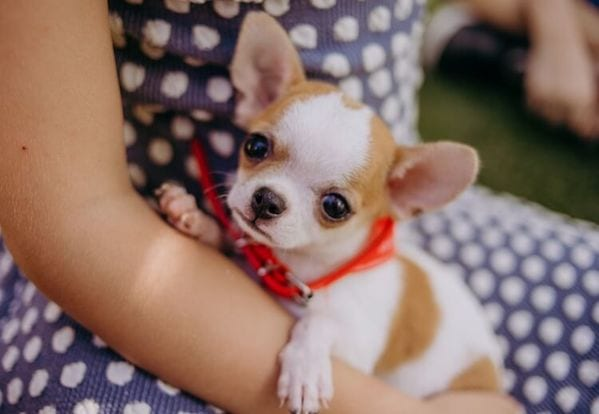 Chó Chihuahua tracup