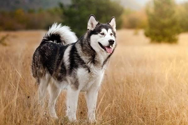 Đặc tính chó Husky giống như loài chó sói