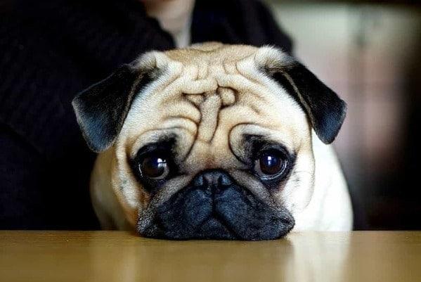 Tính cách chó Pug