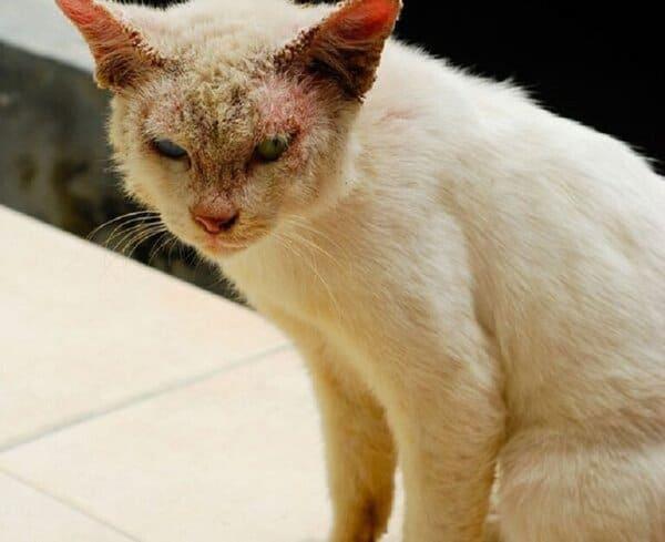 Sữa tắm trị nấm cho mèo